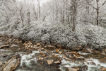 Snow-covered Rhododendrons and Woodlands along West Prong Little Pigeon River, Great Smoky Mountains National Park, TN