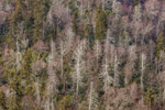 Close Up of Trees on Mountainside, View from Morton Overlook, Great Smoky Mountains National Park, TN
