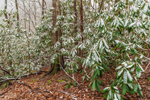 Snow-covered Rhododendrons in Hardwood Forests along Newfound Gap Road, Great Smoky Mountains National Park, TN