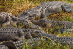 American Alligators Basking in Grass along Anhinga Trail in Royal Palm Area, Everglades National Park, FL
