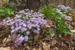 Moss Phlox (Moss-pink) in Bloom on Forest Floor in Early Spring, Brown County State Park, Brown County, Nashville, IN