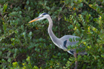 Great Blue Heron Surrounded by Greenery on Anhinga Trail, Royal Palm Area, Everglades National Park, FL