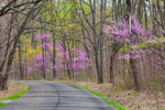 American Redbud and Sassafras Trees in Bloom along Country Road in Early Spring, Brown County State Park, Brown County, Nashville, IN