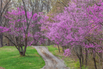 American Redbud Trees in Bloom along Country Road in Early Spring, Brown County State Park, Brown County, Nashville, IN