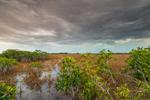 Red Mangroves and Wetlands Prairie near Paurotis Pond under Stormy Skies, Everglades National Park, FL