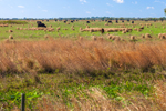 Cattle Grazing in Pasture on Rural Farm, Venus, FL
