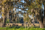 Cows in Pasture Viewed through Live Oak Trees Draped with Spanish Moss, Crewsville, Hardee County, Zolfo Springs, FL