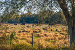Cattle Grazing in Pasture in Early Morning Light on Rural Farmland, near Highlands Hammock State Park, Hardee County, Zolfo Springs, FL