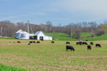 Cattle Grazing in Pasture with White Barn and Silos in Background, Parke County, near Rockville and Bridgeton, IN