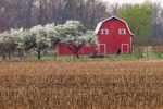 Red Barn, Flowering Trees, and Old Corn Field on Early Spring Morning, Putnam County, Cloverdale, IN