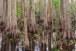 Bald Cypress Trees on Little Charlie Bowlegs Creek, Highlands Hammock State Park, Sebring, FL