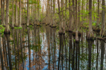 Bald Cypress Trees Reflecting in Little Charlie Bowlegs Creek in Late Evening Light, Highlands Hammock State Park, Sebring, FL