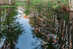 Bald Cypress Trees Reflecting in Little Charlie Bowlegs Creek in Late Evening Light, Highlands Hammock State Park, Sebring, FL