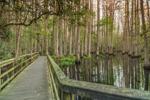 Boardwalk through Bald Cypress Trees on Cypress Swamp Trail along Little Charlie Bowlegs Creek, Highlands Hammock State Park, Sebring, FL