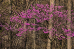 Redbud Tree in Bloom in Early Spring, Lieber State Recreation Area, Putnam County, near Cataract and Cloverdale, IN
