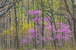 American Redbud and Sassafras Trees in Bloom in Early Spring Woodlands, Brown County State Park, Brown County, Nashville, IN