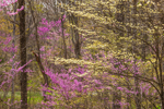 American Redbud and Flowering Dogwood Trees in Bloom in Early Spring, Brown County State Park, Brown County, Nashville, IN