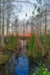 Sunset over Dwarf Cypress (Pond Cypress) and Cattails in Pa-hay-okee Area, Everglades National Park, FL
