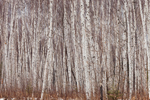 Thick Stand of Birch Trees in Chequamegon Nicolet National Forest, Oconto County, near Lakewood, WI