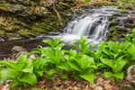 False Hellebore and Small Waterfall on Tributary of East Branch Swift River, Brooks Woodland Preserve, Petersham, MA
