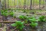 Skunk Cabbage in Early Spring near Saugatuck Reservoir, Centennial Watershed State Forest, Weston, CT