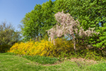 Weeping Cherry Tree and Forsythia Bushes in Full Bloom, Tarrywile Park and Mansion, Danbury, CT