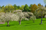 Apple Trees in Bloom in Early Spring, Wilton, CT