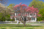 Flowering Dogwood Trees in Front of Colonial-style Home with White Fence, Fairfield, CT