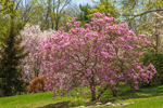Magnolia Tree and Weeping Cherry Tree in Bloom, Greenfield Hill Historic District, Fairfield, CT