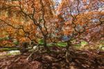 Dwarf Japanese Cutleaf Maple Tree, Greenfield Hill Historic District, Fairfield, CT
