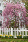 Flowering Weeping Cherry Tree and Daffodils in Bloom along White Picket Fence, Groton, CT