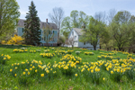 Naturalized Daffodils, Forsythia, Farmhouse, and White Barn in Spring, New Salem Common Historic District, New Salem, MA