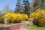 Forsythia in Full Bloom along Private Driveway, Westerly, RI