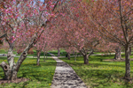 Path through Flowering Cherry Trees in Wilcox Park, Westerly, RI