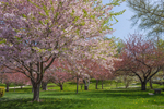 Flowering Cherry Trees in Wilcox Park, Westerly, RI