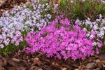 Moss Phlox (Creeping Phlox) in Full Bloom in Rock Garden, Athol, MA