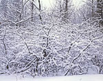 Choke Cherry Trees Covered with Newly Fallen Snow
