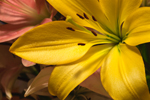 Close Up of Yellow Lily in Mother's Day Bouquet, Athol, MA