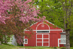 Flowering Crabapple Tree and Red Barn in Spring at Swift River Valley Historical Society, New Salem, MA