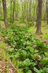 Skunk Cabbage in Intermittent Stream in Spring, Quabbin Park, Quabbin Reservation, Ware, MA
