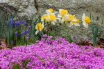 Moss Phlox (Creeping Phlox), Daffodils and Grape Hyacinth in Bloom in Rock Garden, Athol, MA