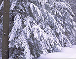 Hemlocks Laden with Snow