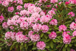 Close Up of Pink Rhododendrons, West Mystic, Groton, CT