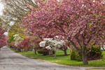 Flowering Trees along Country Road in Early Spring, Groton, CT