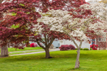 Flowering Dogwood and Japanese Maple Trees in Early Spring, Groton, CT