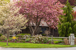 Flowering Dogwood and Flowering Cherry Trees with Garden along Split-rail Fence, Groton, MA