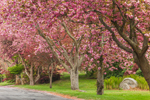 Flowering Cherry Trees along Country Road, Groton, CT