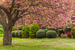 Flowering Cherry Tree and Green Shrubs in Early Spring, Groton, CT