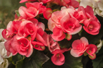 Close Up of Pink Begonias in Full Bloom, Essex, CT