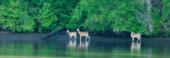 Three White-tailed Deer in Early Morning along Shore of Hamburg Cove, Popular Boating Spot on the Connecticut River, Lyme, CT